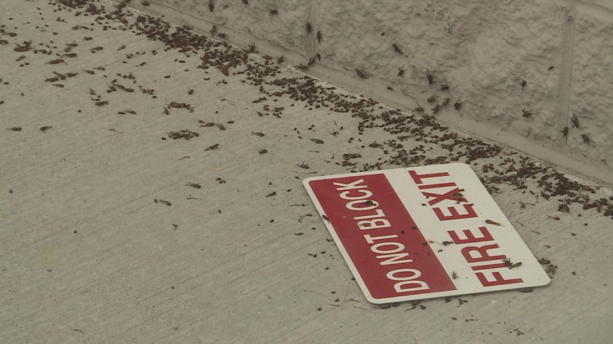 Crickets are everywhere due to the outside lights on several buildings and the heat they produce. (Source: Erika Siebring, KNOP TV)