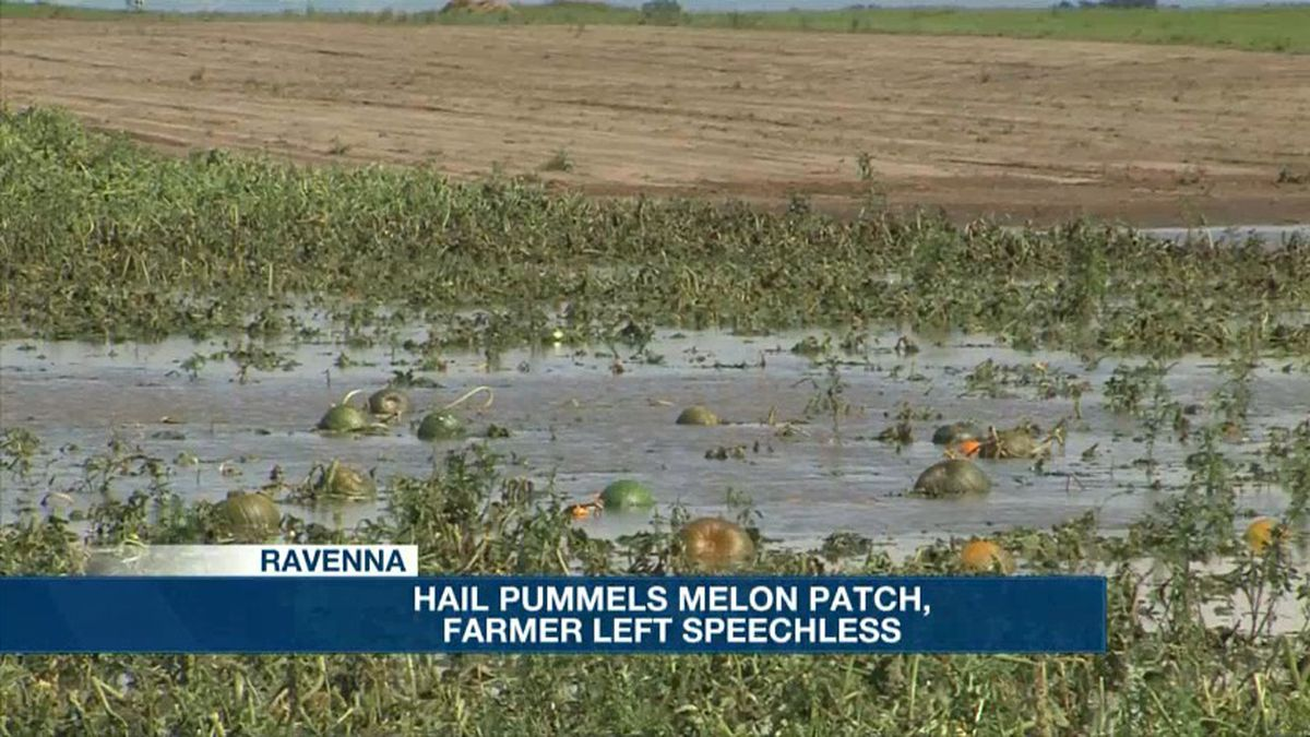 Pumpkins exposed, floating in standing water after the vines were shredded by an hour-long hailstorm Tuesday night.