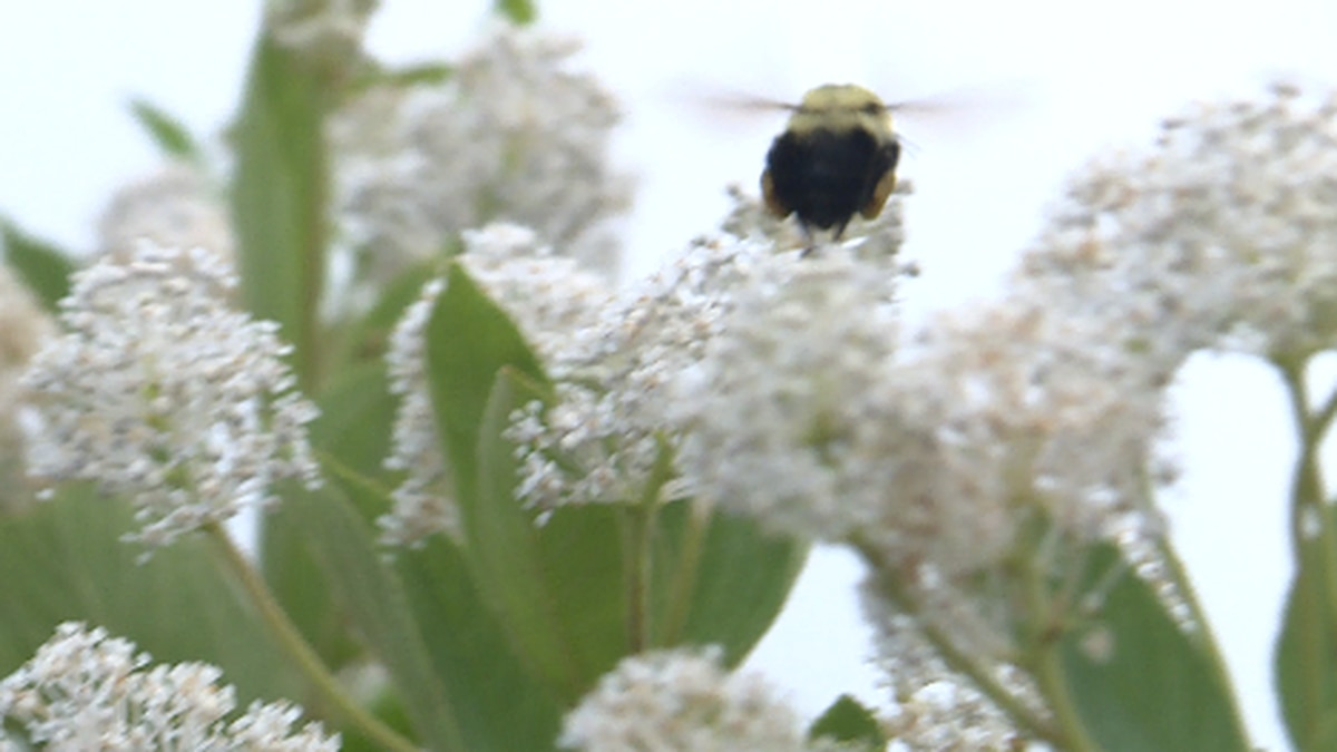 Habitats for pollinators are disappearing around Nebraska and Pollinator Week is raising awareness of their importance. (KSNB)
