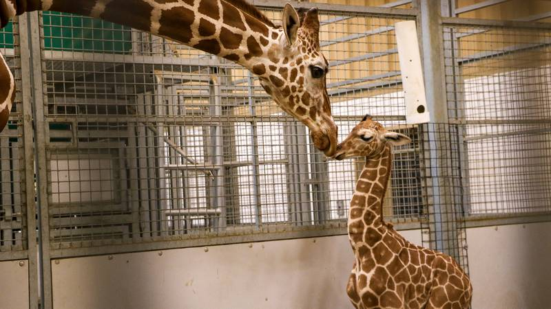 Omaha's Henry Doorly Zoo and Aquarium announced the name of their baby giraffe on Tuesday.
